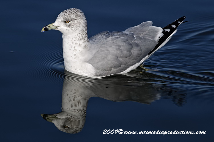 Ringbilled Gull Picture-147