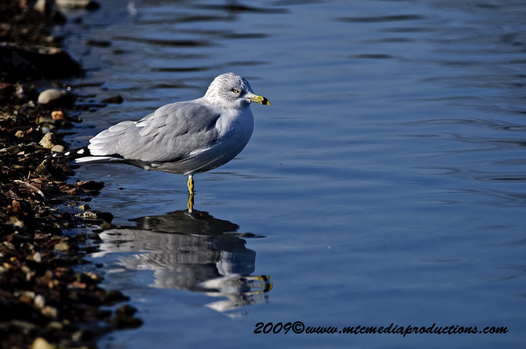 Ringbilled Gull Picture-149