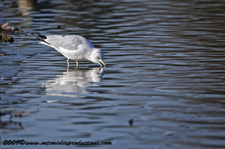 Ringbilled Gull Picture-150