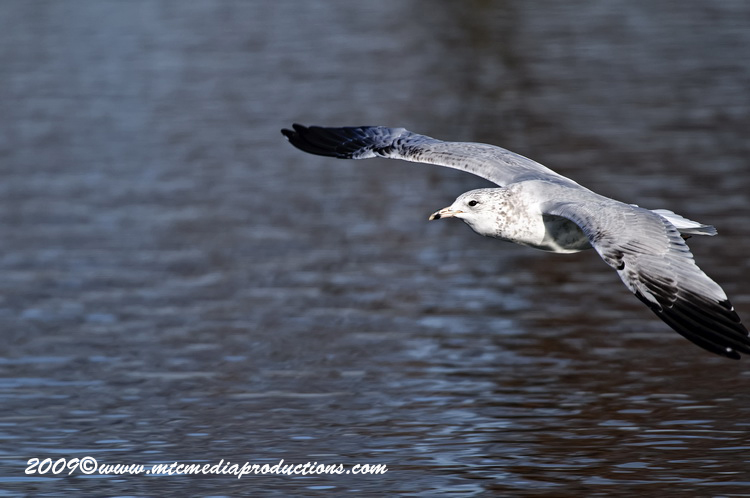 Ringbilled Gull Picture-151