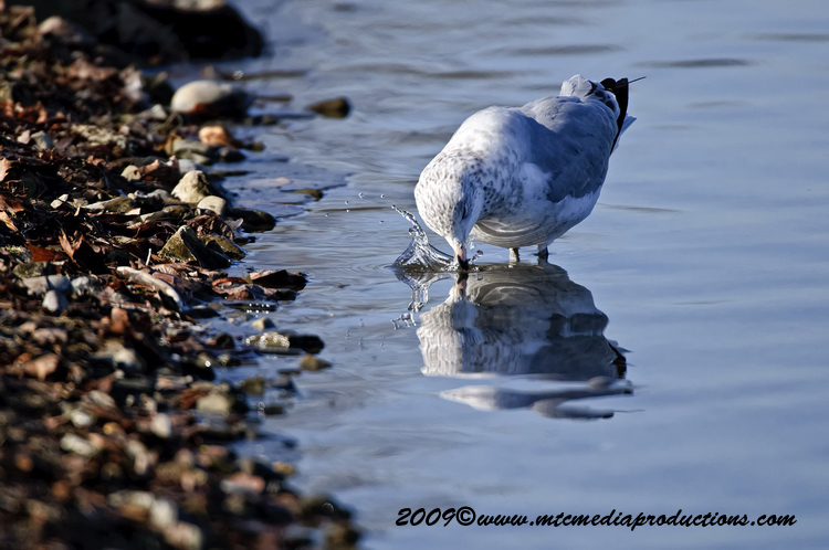 Ringbilled Gull Picture-152