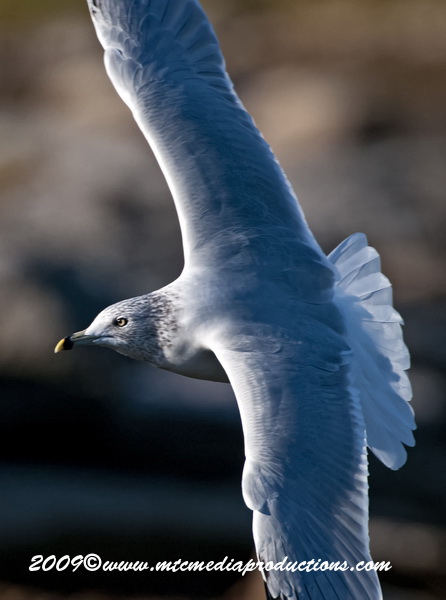 Ringbilled Gull Picture-153