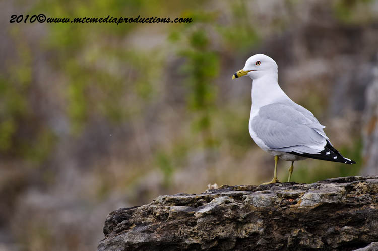Ringbilled Gull Picture-156
