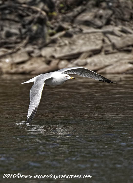 Ringbilled Gull Picture-157