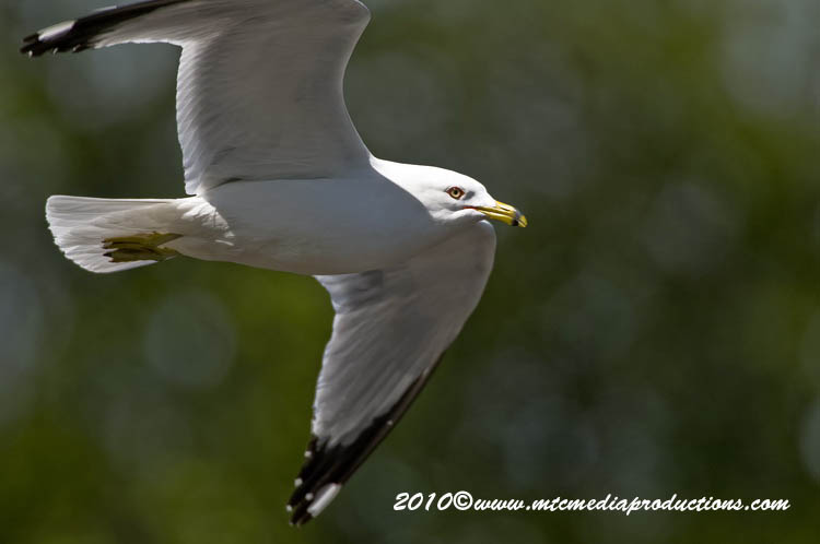 Ringbilled Gull Picture-158