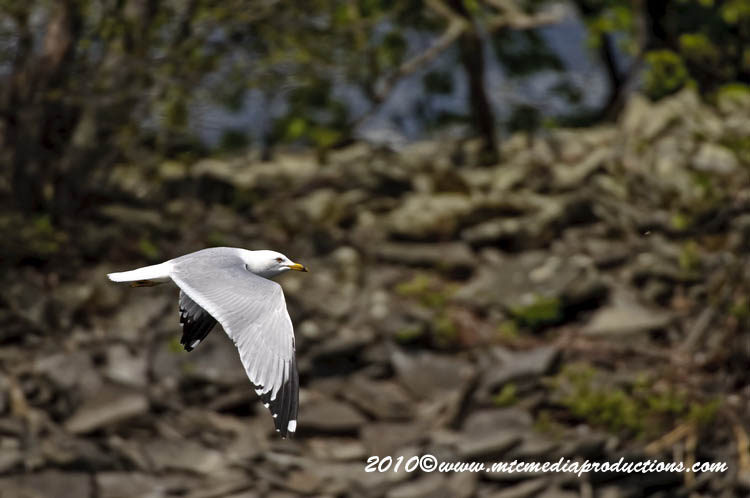 Ringbilled Gull Picture-159