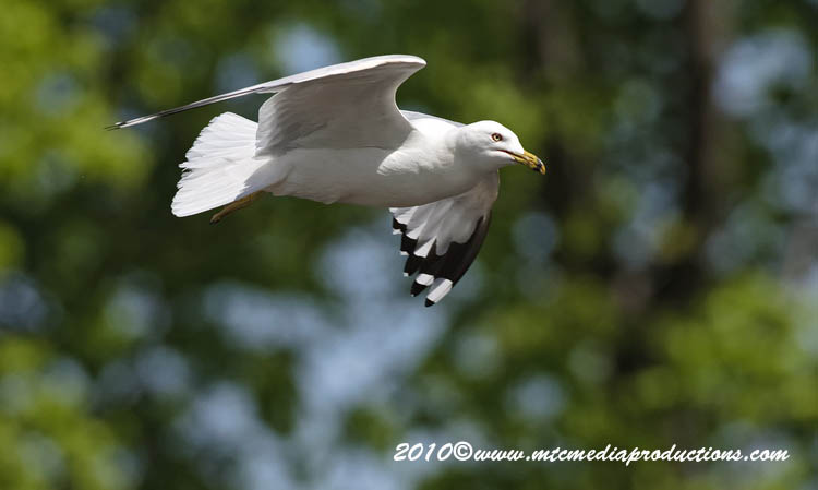 Ringbilled Gull Picture-161