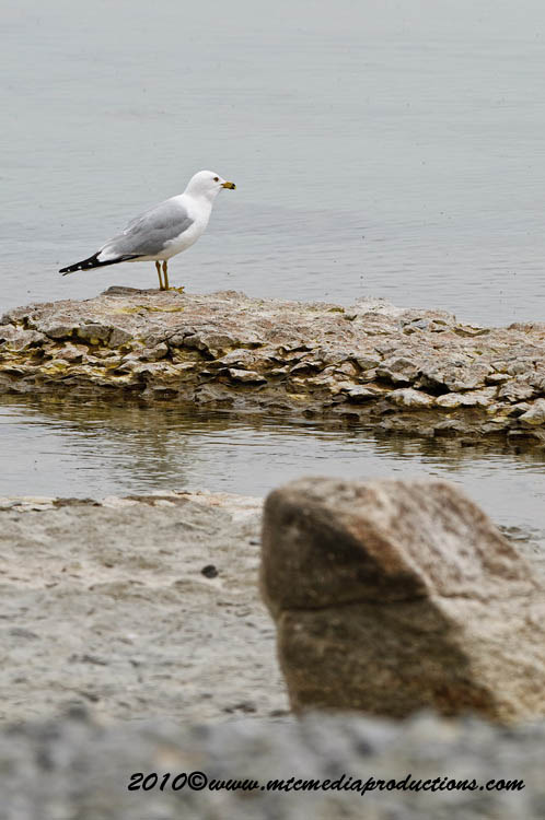 Ringbilled Gull Picture-162