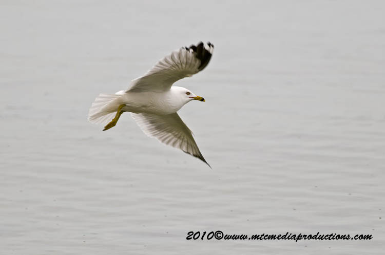Ringbilled Gull Picture-163