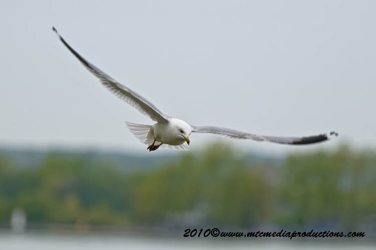 Ringbilled Gull Picture-164