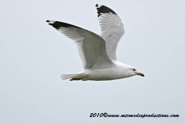 Ringbilled Gull Picture-165