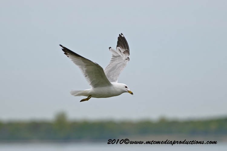 Ringbilled Gull Picture-166