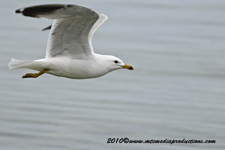 Ringbilled Gull Picture-167