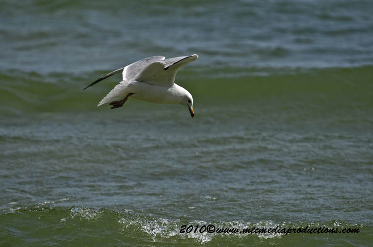 Ringbilled Gull Picture-169