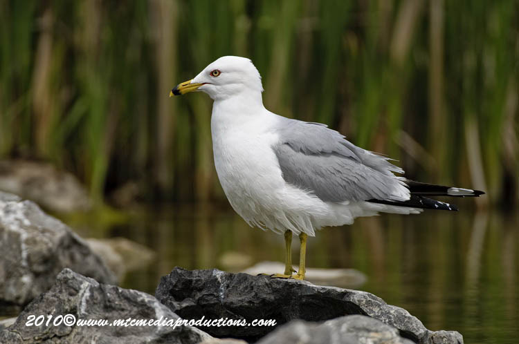 Ringbilled Gull Picture-170