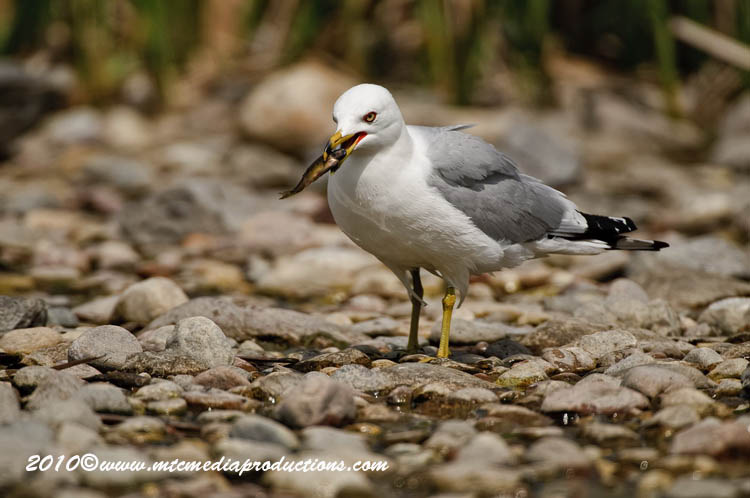 Ringbilled Gull Picture-171