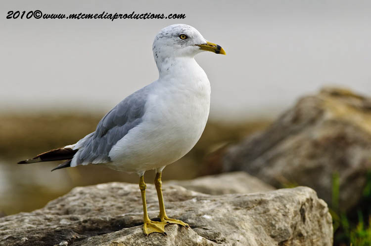 Ringbilled Gull Picture-172