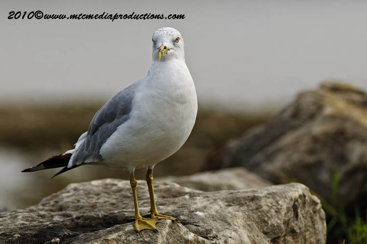 Ringbilled Gull Picture-173