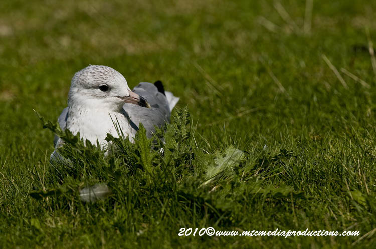 Ringbilled Gull Picture-174