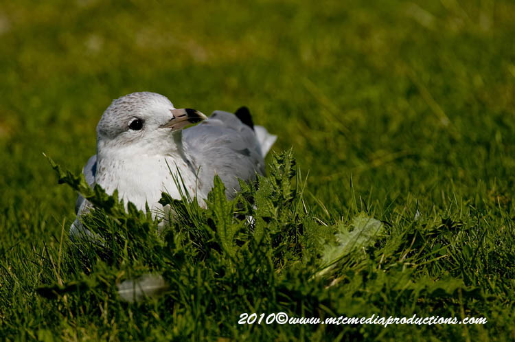 Ringbilled Gull Picture-175