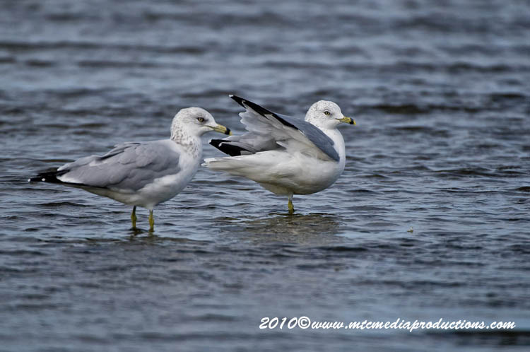 Ringbilled Gull Picture-177