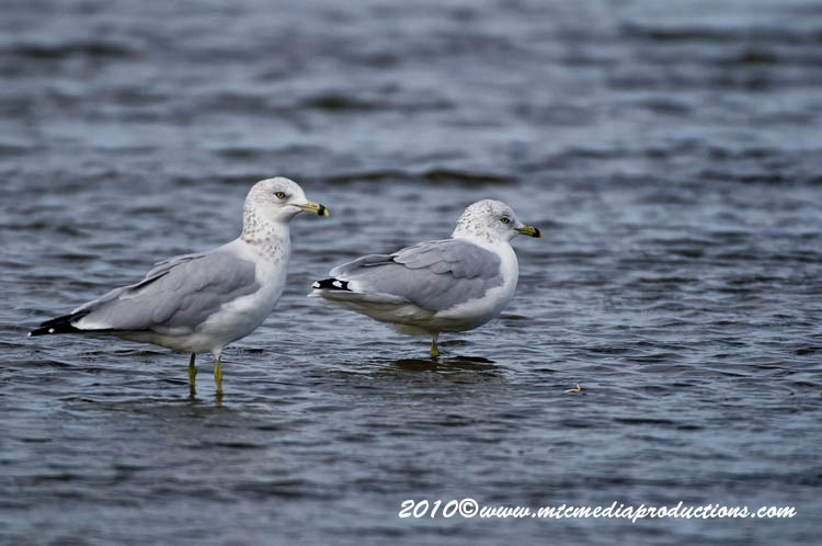 Ringbilled Gull Picture-178