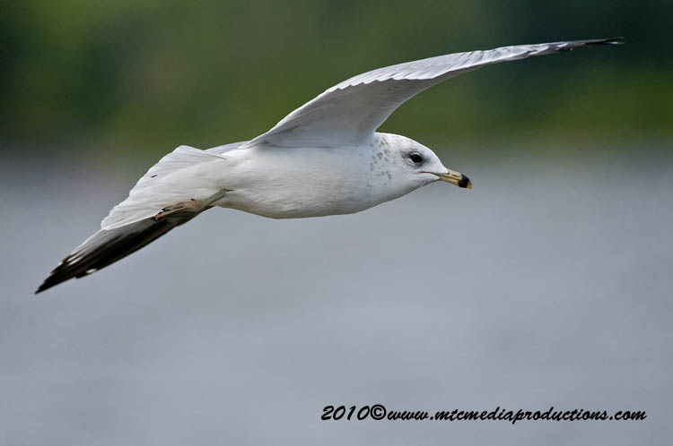 Ringbilled Gull Picture-179