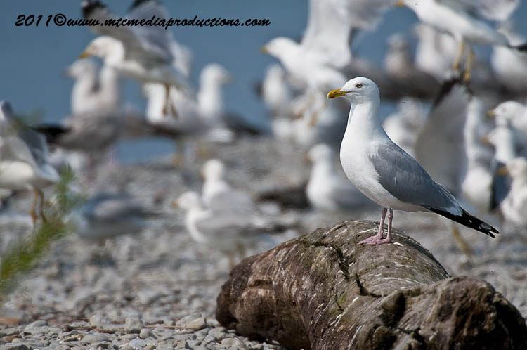 Ringbilled Gull Picture-181