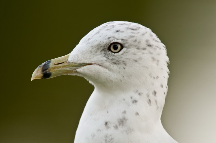 Ringbilled Gull Picture-182