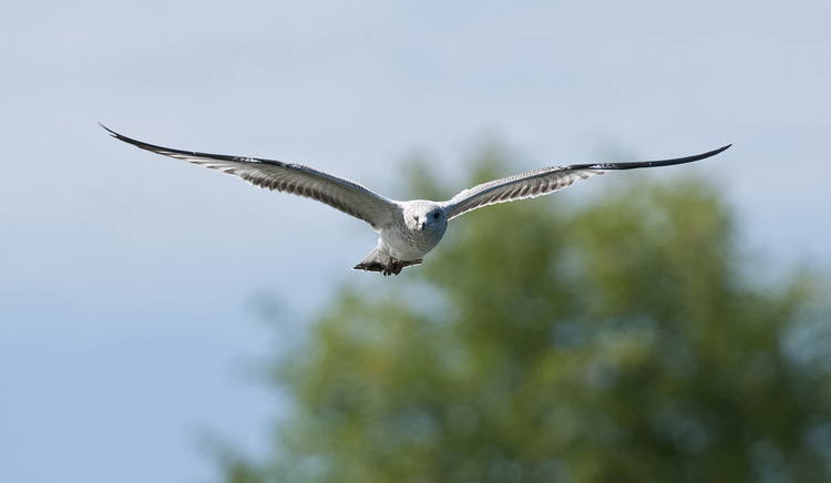 Ringbilled Gull Picture-184