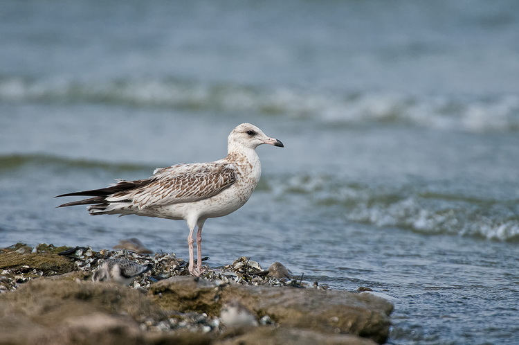 Ringbilled Gull Picture-185