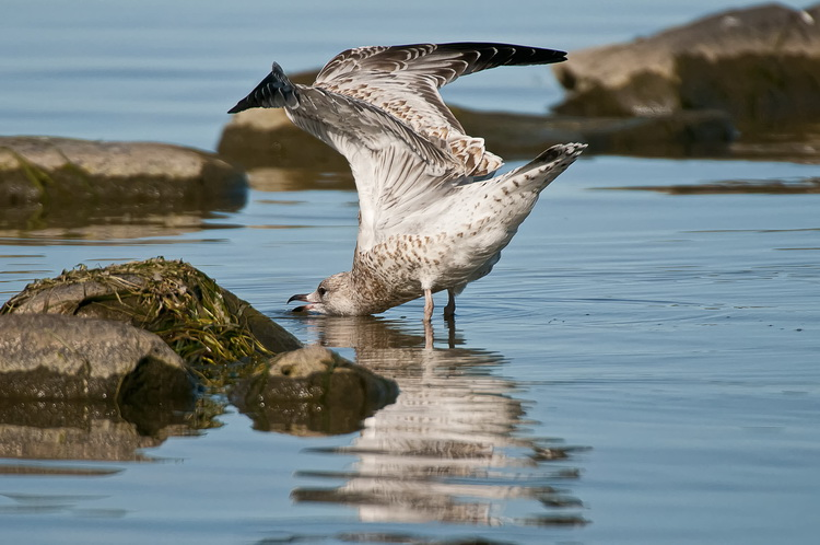 Ringbilled Gull Picture-186