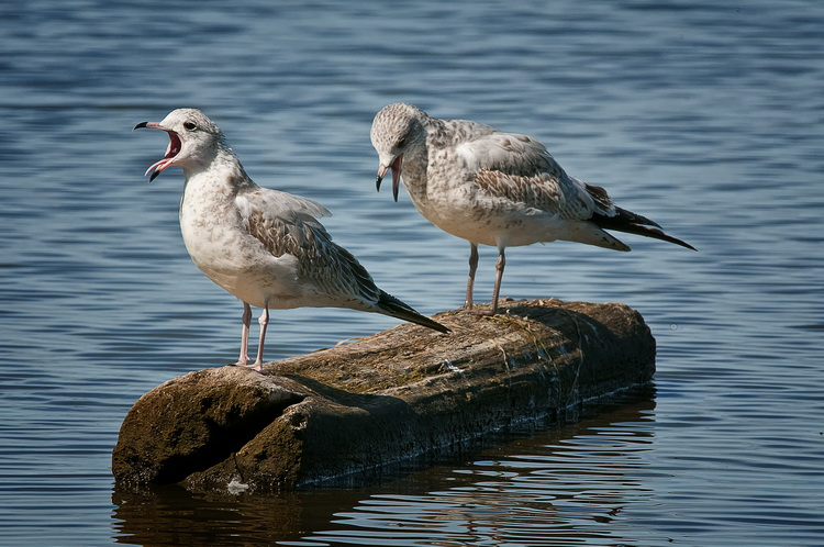 Ringbilled Gull Picture-187