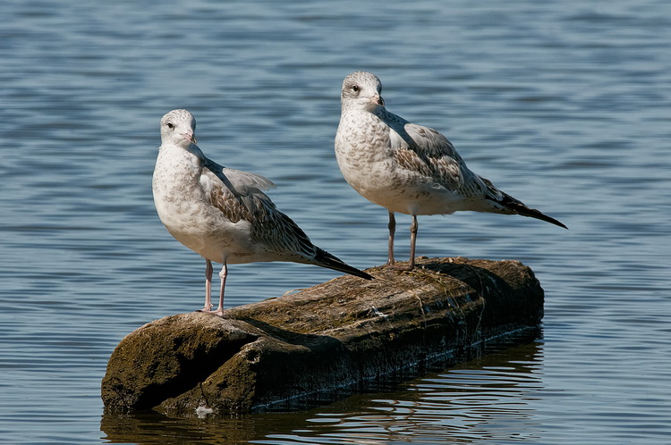 Ringbilled Gull Picture-188