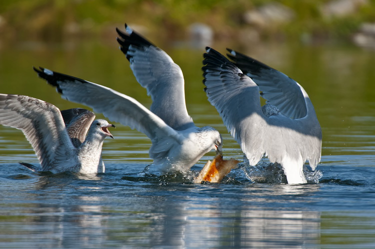 Ringbilled Gull Picture-189