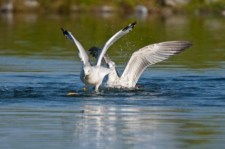 Ringbilled Gull Picture-190