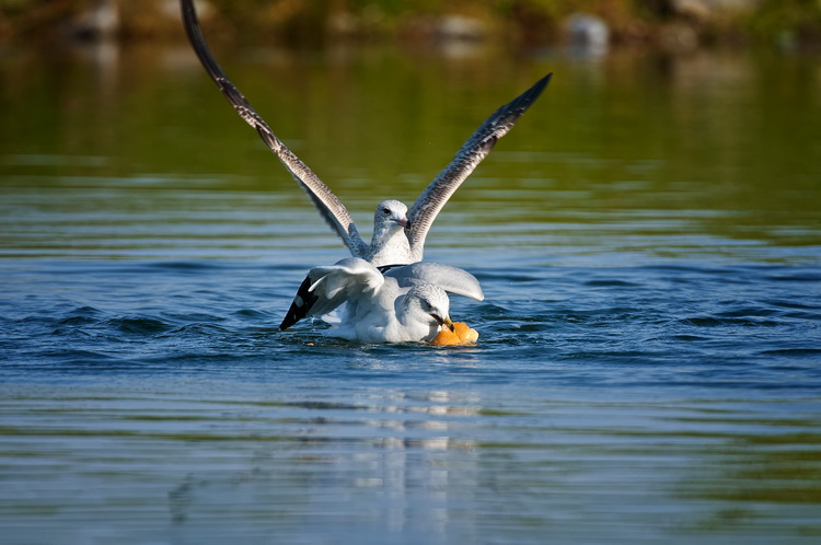 Ringbilled Gull Picture-193