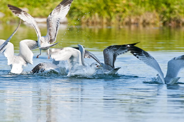 Ringbilled Gull Picture-195