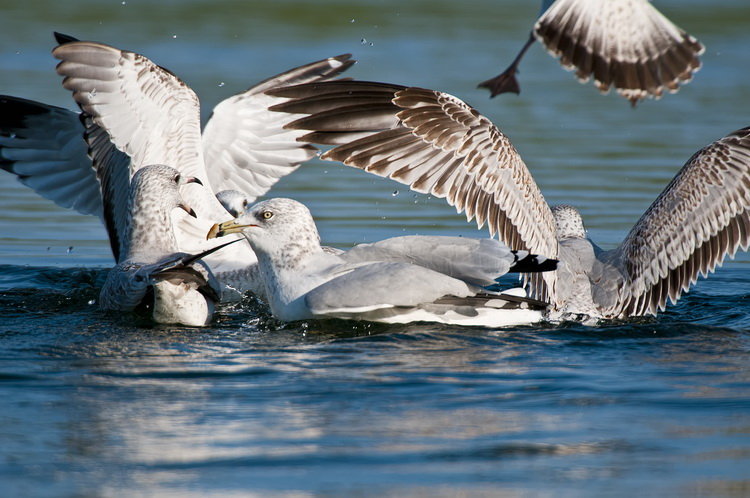 Ringbilled Gull Picture-196