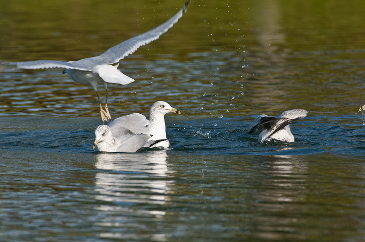 Ringbilled Gull Picture-197