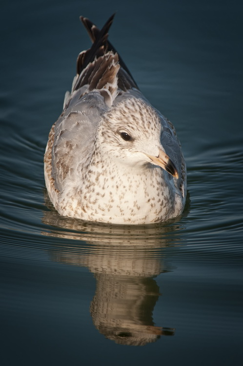 Ringbilled Gull Picture-198