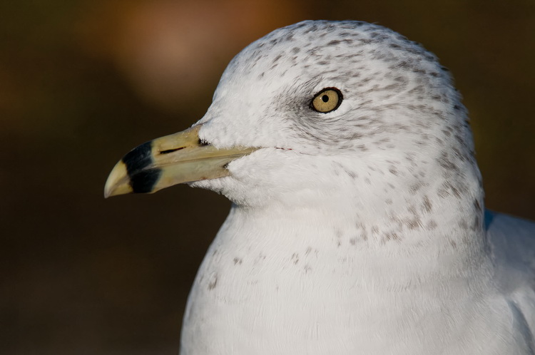 Ringbilled Gull Picture-199