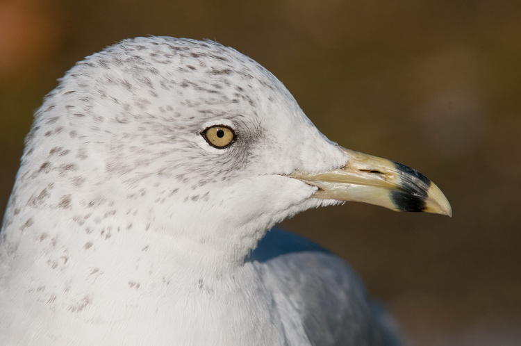 Ringbilled Gull Picture-200