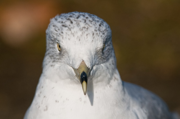 Ringbilled Gull Picture-201