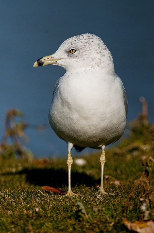 Ringbilled Gull Picture-202