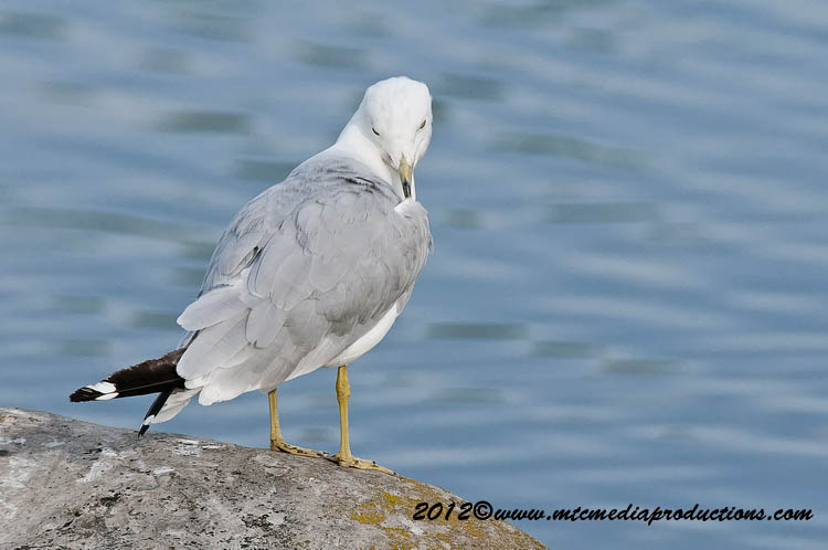 Ringbilled Gull Picture-203