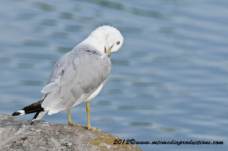Ringbilled Gull Picture-204