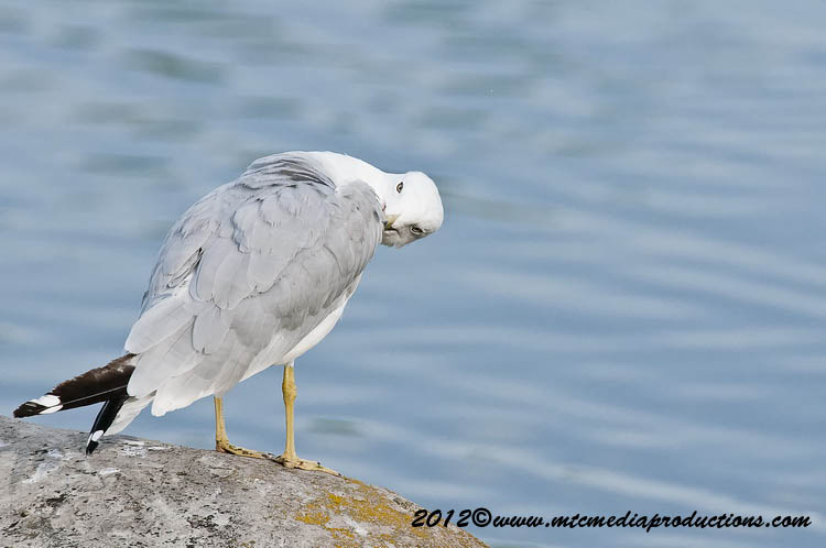 Ringbilled Gull Picture-205