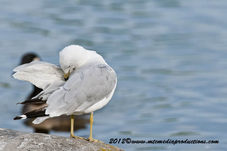 Ringbilled Gull Picture-206