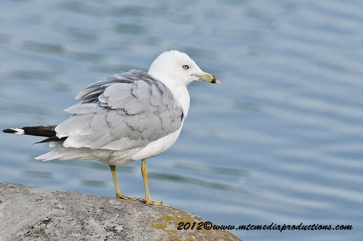 Ringbilled Gull Picture-207